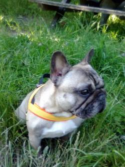 Französische Bulldogge Gisela
